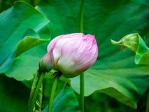 Ampuła różowi lotosowego kwiatu pączki Obraz Royalty Free
