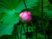 Ampuła różowi lotosowego kwiatu w Japońskim bagna Fotografia Royalty Free