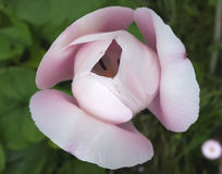 Ampuła różowi tulipanu Zdjęcia Stock