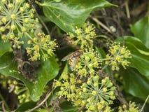 Ampuła unosi się komarnicy zakończenie na kwiat jesieni insektach up obrazy royalty free