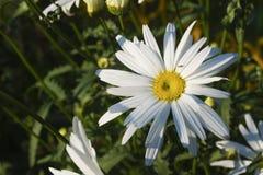 Ampuła uprawia ogródek stokrotki w jaskrawym słońcu obraz royalty free