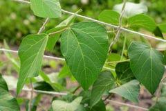 Ampuła zielenieje biegacz fasoli winogradu liście Obrazy Stock
