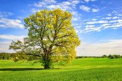 Ampuła zielenieje drzewa na wiosny łące w jaskrawym słonecznym dniu Piękna wiosny natura malowniczy drzewo na zieleni polu Zdjęcia Royalty Free