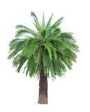 Ampuła zielenieje drzewka palmowego na bielu fotografia royalty free