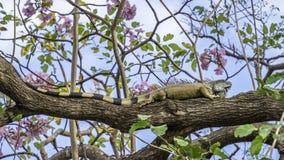Ampuła zielenieje iguany w drzewie obrazy stock