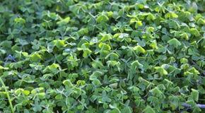 Ampuła zielenieje koniczyny pole w lesie tło cztery liści koniczyna Zdjęcia Stock