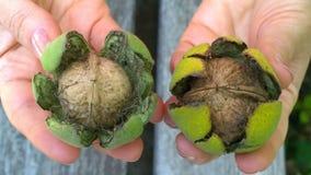 Ampuła zielenieje orzechy włoskich w man& x27; s ręka Zdjęcia Royalty Free