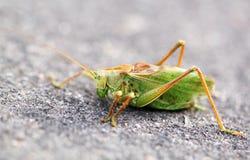 Ampuła zielenieje pasikonik szarańczy Zdjęcie Royalty Free