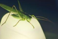 Ampuła zielenieje szarańcza pasikonika obsiadanie przy nocą na lampie Fotografia Royalty Free