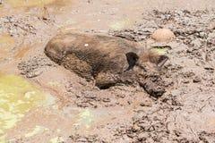 Ampuły brudna czarna dzika świnia kłaść w błocie Zdjęcia Royalty Free