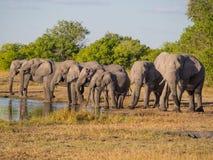 Ampuły grupa Afrykańscy słonie pije w rzędzie przy waterhole w złotym popołudnia świetle, Moremi NP, Botswana, Afryka Obraz Stock