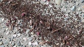 Ampuły grupa czarne mrówki chodzi na betonowej powierzchni zbiory