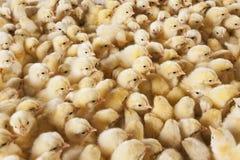 Ampuły grupa dzieci kurczątka na kurczaka gospodarstwie rolnym Obraz Royalty Free