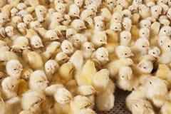 Ampuły grupa dzieci kurczątka na kurczaka gospodarstwie rolnym Obraz Stock