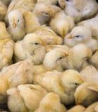 Ampuły grupa niedawno klujący się kurczątka na kurczaka gospodarstwie rolnym Zdjęcie Stock