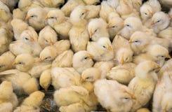 Ampuły grupa niedawno klujący się kurczątka na kurczaka gospodarstwie rolnym, czarny i biały Obrazy Stock