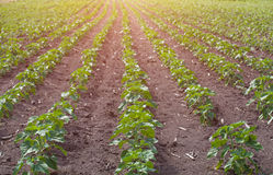 Ampuły pole potomstwa zielenieje, kwitnący słonecznikowy dorośnięcie w gospodarstwie rolnym Obraz Royalty Free