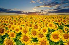 Ampuły pole słoneczniki na tło zmierzchu słońcu Zdjęcia Stock