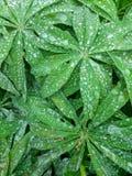 Ampuły woda opuszcza na liściach dziki Lupine, Lupinus arcticus, roślina, Kanada zdjęcie stock