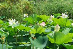 Ampuły zieleń opuszcza i piękni biali i różowi kwiaty Lotosowy dokrętki lat Nelumbo nucifera na Pogodnym letnim dniu obraz stock