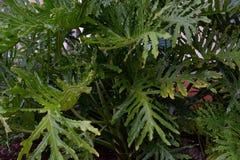 Ampuły zieleni liście - filodendron Xanadu Zdjęcie Stock