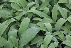 Ampuły zieleni liście mędrzec Mędrzec jest aromatycznym zielarskim ideałem fl Fotografia Royalty Free
