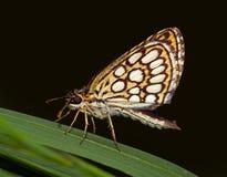Ampuła chequered szypera motyl (Heteropteris morpheus) Fotografia Stock