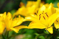 Ampuła kwiatów leluja Obrazy Stock