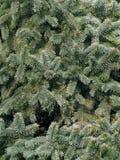 ampuła spruce drzewa Fotografia Royalty Free