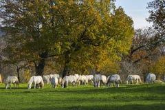 Ampuły grupa biali konie w jesieni polach Fotografia Stock