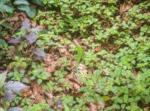 Ampuła zielenieje Amazonian jaszczurki Fotografia Stock