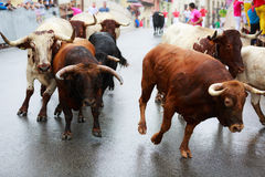 AMPUERO, SPAIN - SEPTEMBER 08: Bulls and people are running in street during festival in Ampuero, celebrated on September 08, 2016 Royalty Free Stock Photography