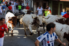 AMPUERO, SPAIN - SEPTEMBER 10: Bulls and people are running in street during festival in Ampuero, celebrated on September 10, 2016 Royalty Free Stock Image