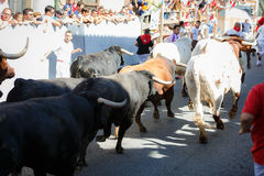 AMPUERO, SPAIN - SEPTEMBER 10: Bulls and people are running in street during festival in Ampuero, celebrated on September 10, 2016 Royalty Free Stock Photos