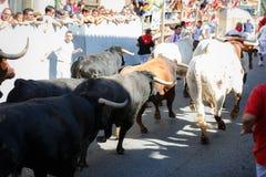 AMPUERO, SPANIEN - 10. SEPTEMBER: Stiere und Leute laufen in Straße während des Festivals in Ampuero, am 10. September 2016 gefei Lizenzfreie Stockfotos
