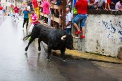 AMPUERO SPANIEN - SEPTEMBER 08: Tjurar och folket kör i gata under festival i Ampuero som firas på September 08, 2016 Arkivbilder