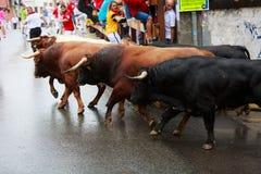 AMPUERO SPANIEN - SEPTEMBER 08: Tjurar och folket kör i gata under festival i Ampuero som firas på September 08, 2016 Royaltyfri Fotografi