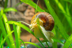 Ampularia snail crawling on a leaf aquarium plants Royalty Free Stock Images
