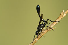 Ampulex compressa. A kind of wasp on a dry stem Stock Photo