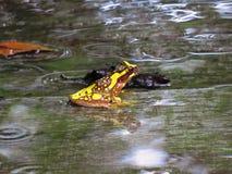 Ampulheta Treefrog fotografia de stock
