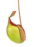 Ampullaria de Nepenthes Photographie stock