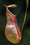 Ampullaria de Nepenthes Photo libre de droits