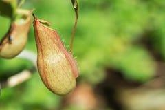 Ampullaria de Nepenthes Images libres de droits