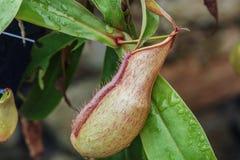 Ampullaria de Nepenthes Photos stock