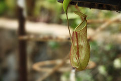 Ampullaria de Nepenthes Images stock
