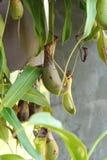 Ampullaria de Nepenthes avec la nature Image libre de droits