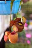 Ampullaria de Nepenthes et usine de broc Images stock