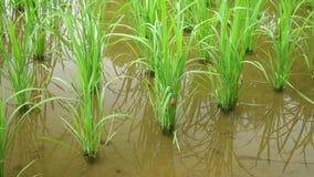 Ampullaria dorata nel ¼ Ž del fieldï del riso archivi video