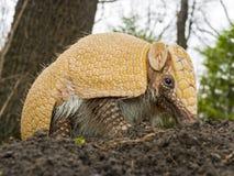 Amradillo在森林里 免版税库存图片