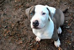 Amreican bully puppy Stock Images